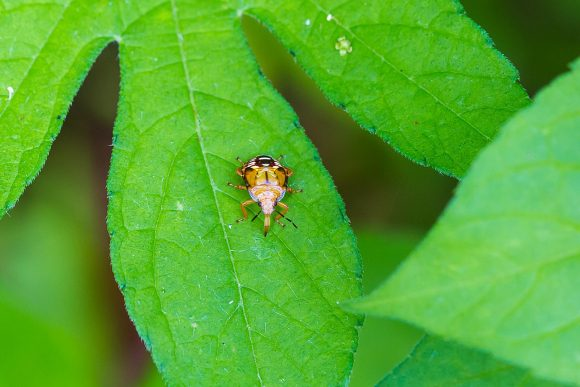 spined soldier bug by Melissa McMasters Wikimedia Commons