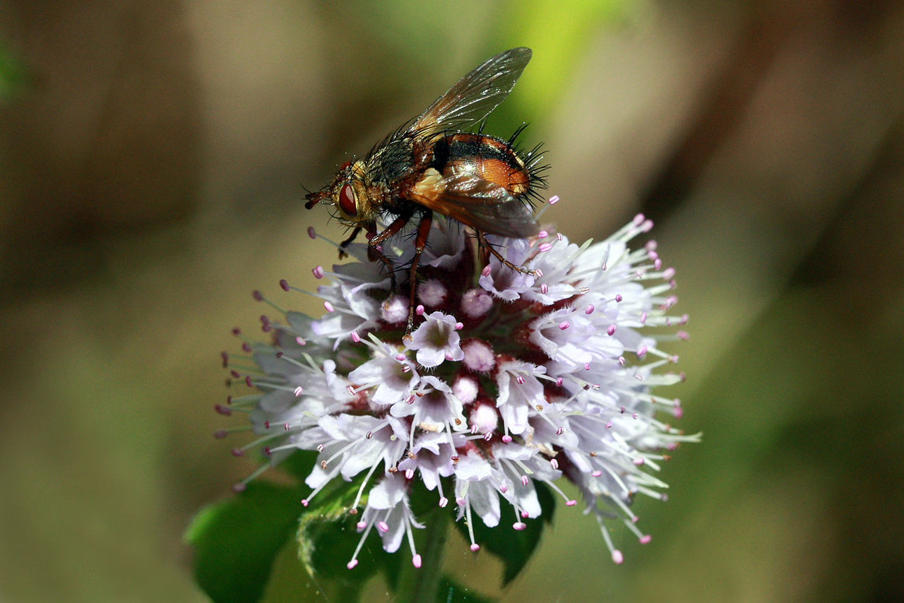 Tachinid fly by Charles J Sharp Wikimedia Commons