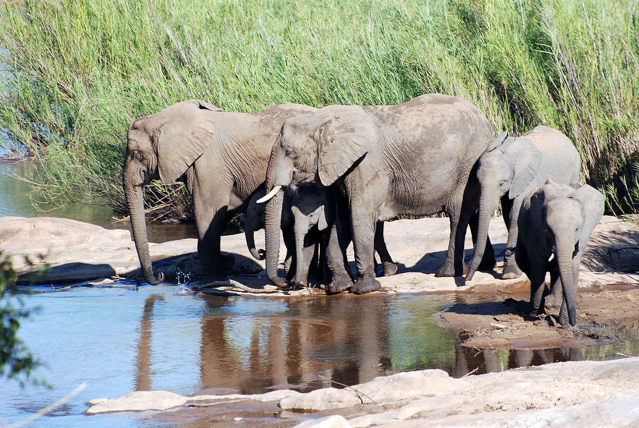 a tuskless elephant on the left by Harvey Barrison Wikimedia Commons