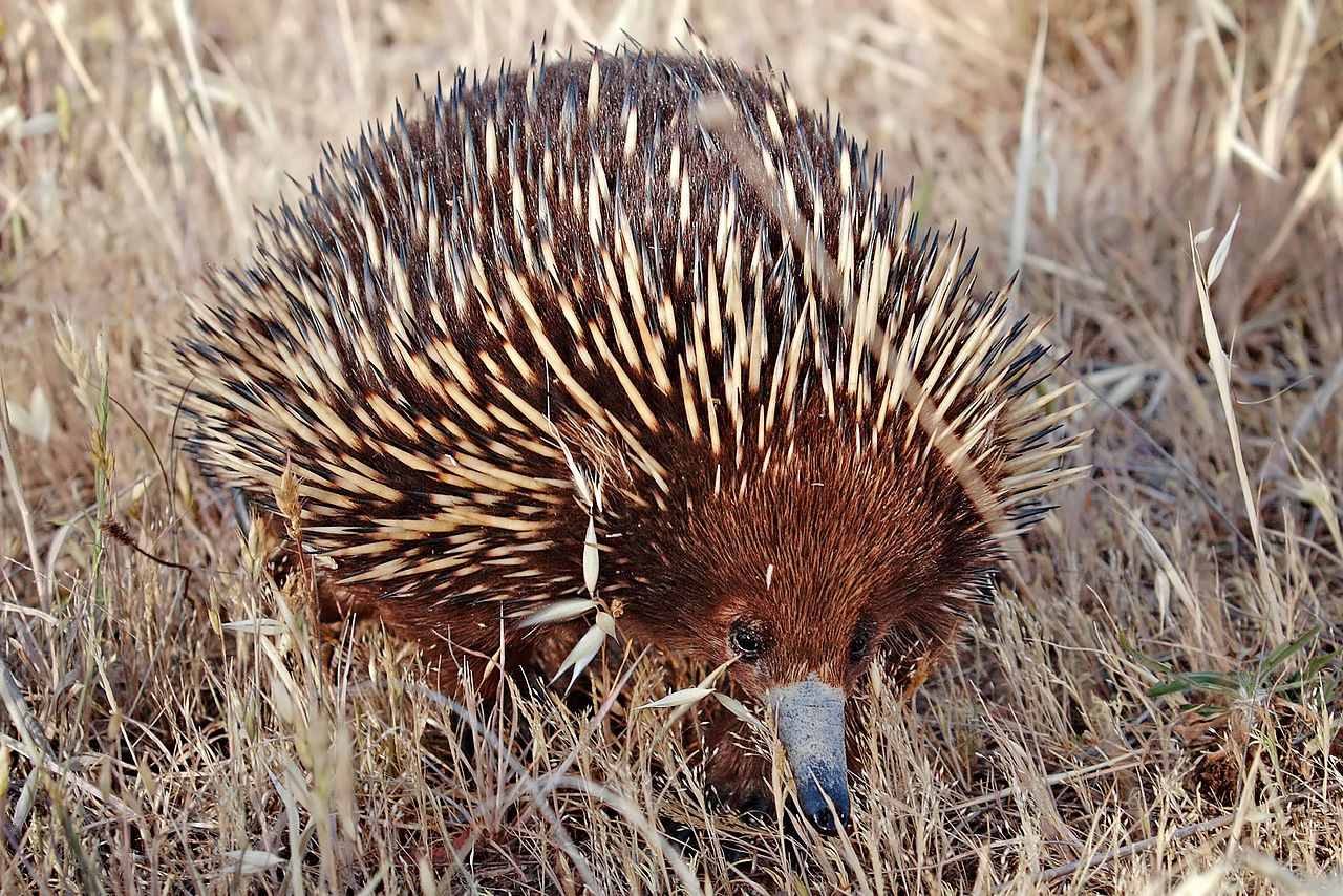 Echidna by Fir0002/Flagstaffotos Wikimedia Commons
