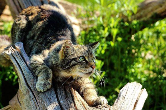cat owners Scottish Wildcat in British Wildlife Centre Wikimedia Commons