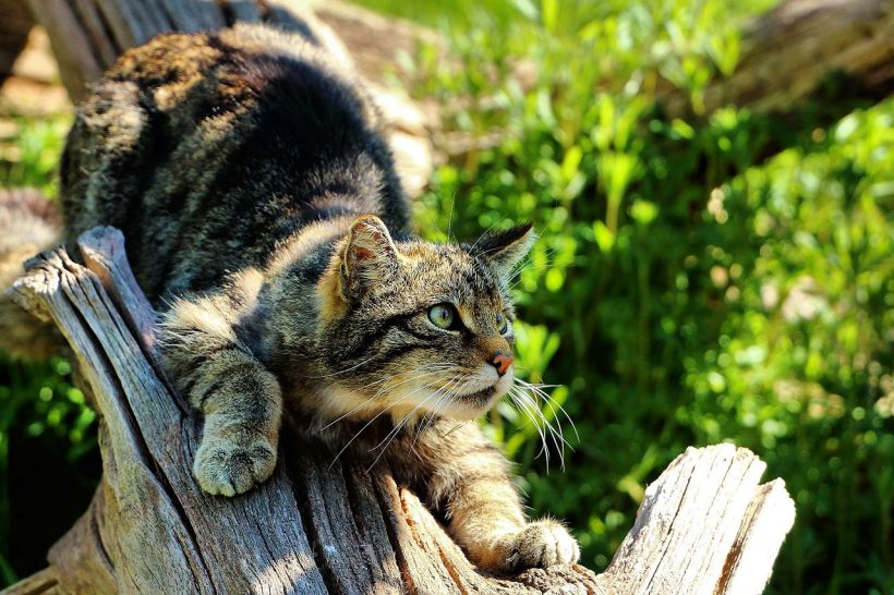 Scotland Has a Native Wildcat Species that Faces Extinction