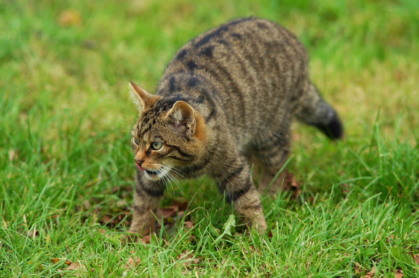 Scottish Wildcat by Peter Trimming Wikimedia Commons
