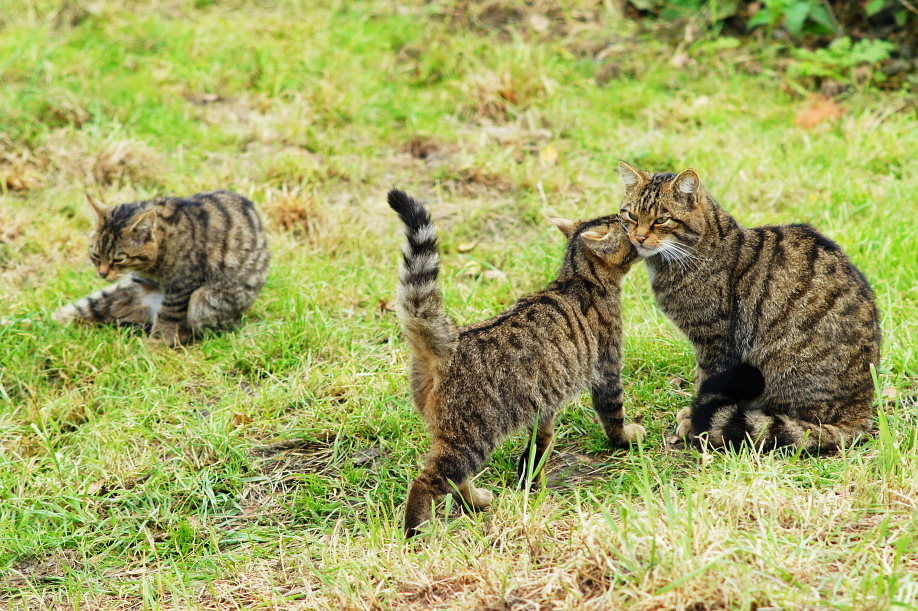 Scottish wildcats mother and kitten by Peter Trimming Wikimedia Commons