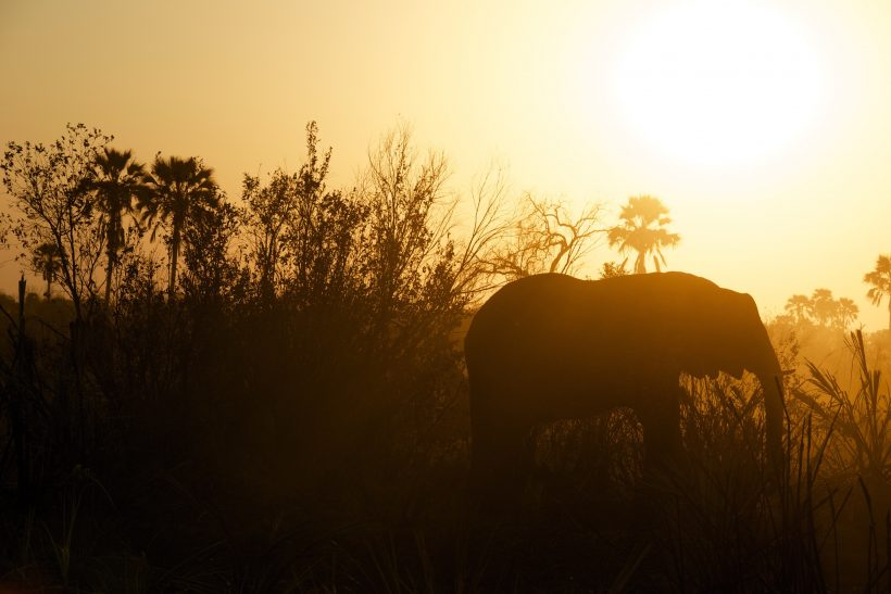 To Survive Poachers, Elephants Begin to Lose Their Tusks Naturally