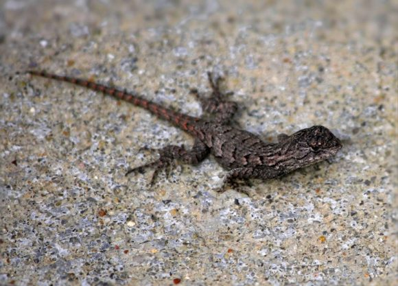 nature-wildlife-insect-reptile-fauna-lizard-1147777-pxhere.com