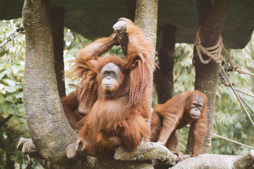 Orangutans Are Incredibly 'Humane'! Here Are The Proofs