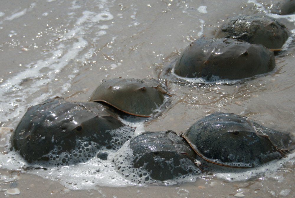 Horseshoe_crab_mating (Wikimedia Commons)