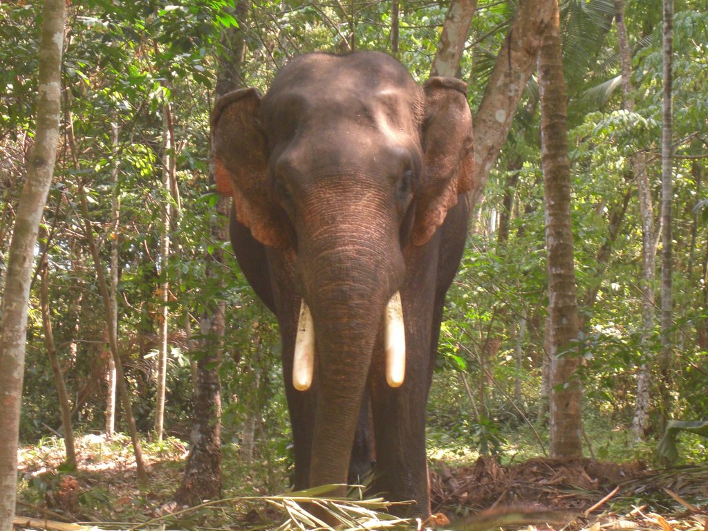 Kerala Elephant (Wikimedia Commons)