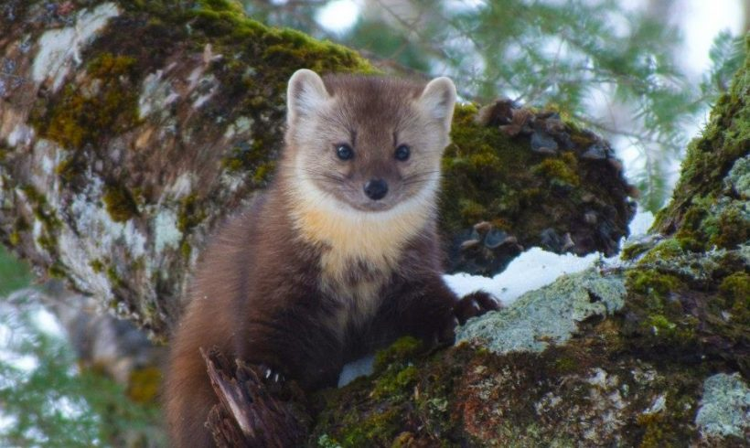 Why Rewilding Pine Marten Is Under The Spotlight?