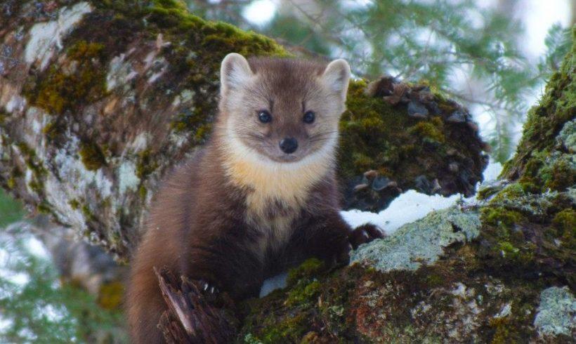Why Rewilding Pine Marten Is Under The Spotlight?