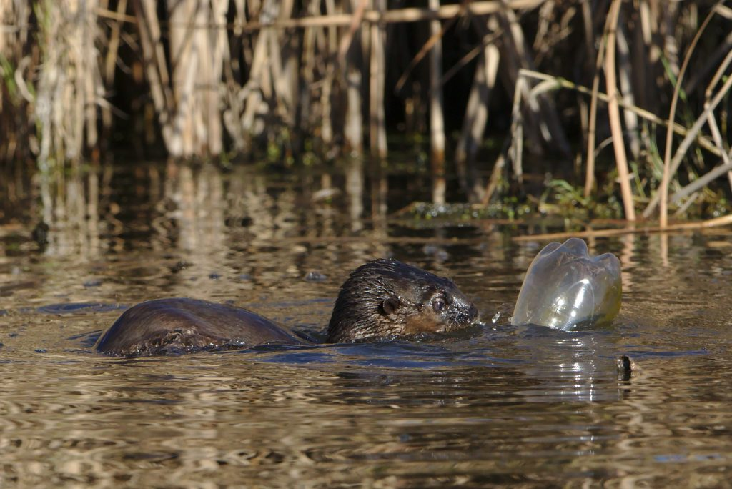 Spotted necked otter, Hydrictis maculicollis, at Marievale playi