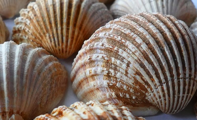 Sea Scallops Are Eating So Much Plastic, And It Is Not Good