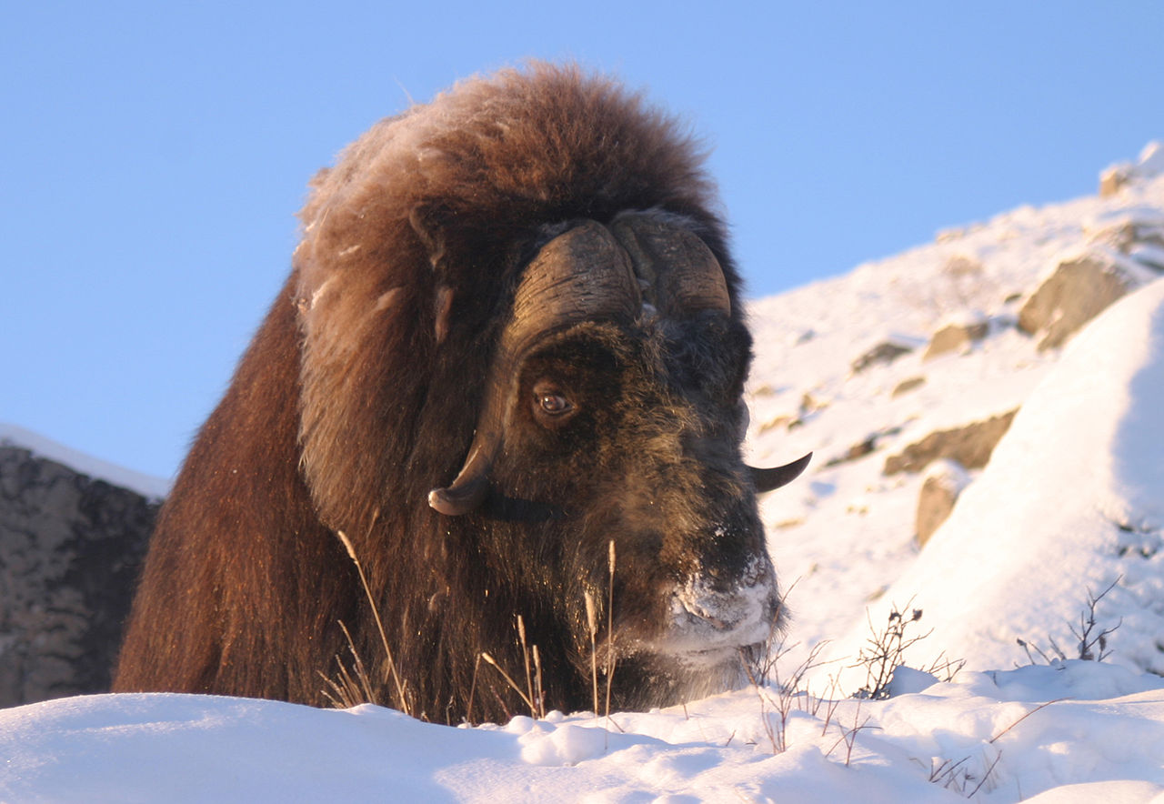 Muskox by ilovegreenland Wikimedia Commons