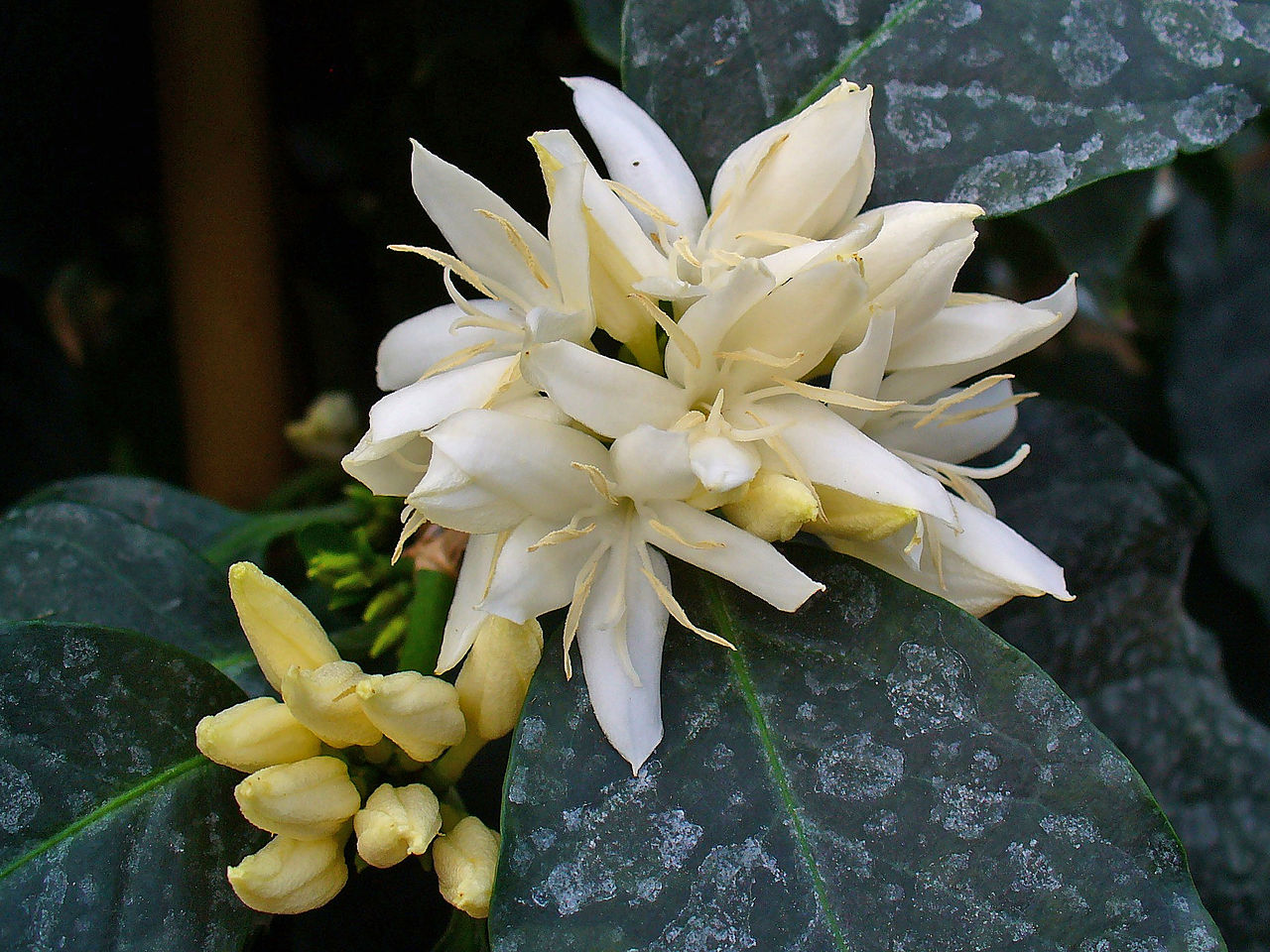 flower of coffea arabica by H. Zell Wikimedia Commons