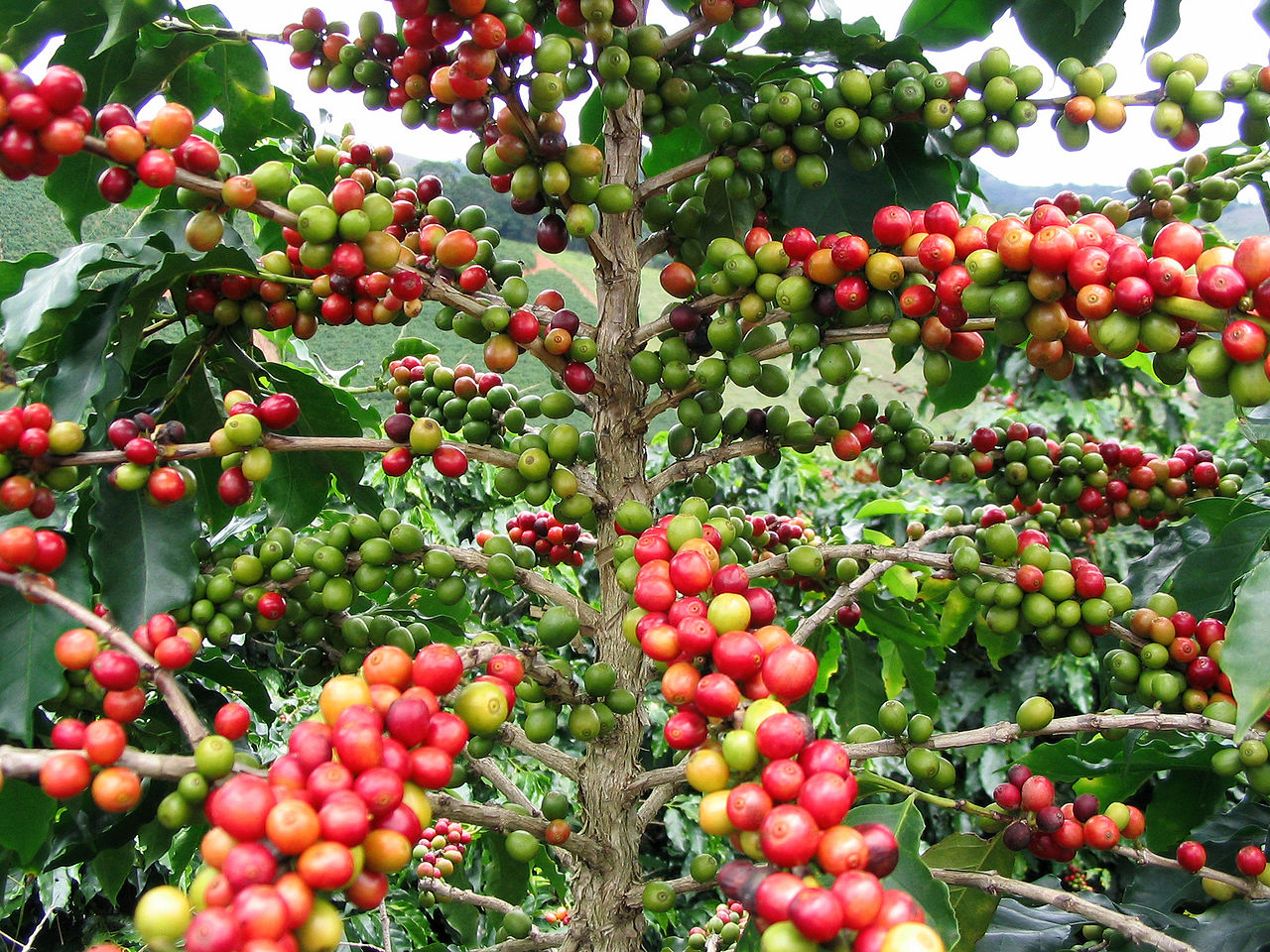 coffea arabica berries by FCRebelo Wikimedia Commons