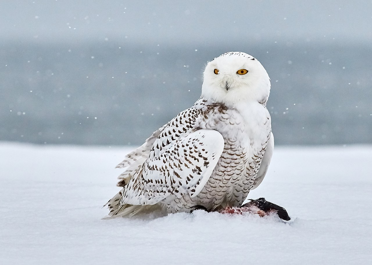 snowy owl by Jongsun Lee Wikimedia Commons