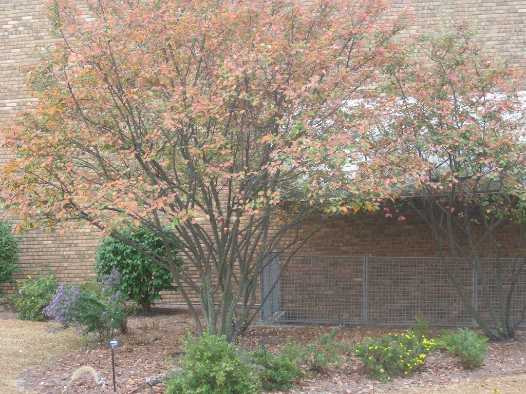 Allegheny Serviceberry by Cranbrook Institute of Science
