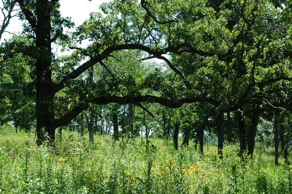 Bur-oak (Wikimedia Commons)