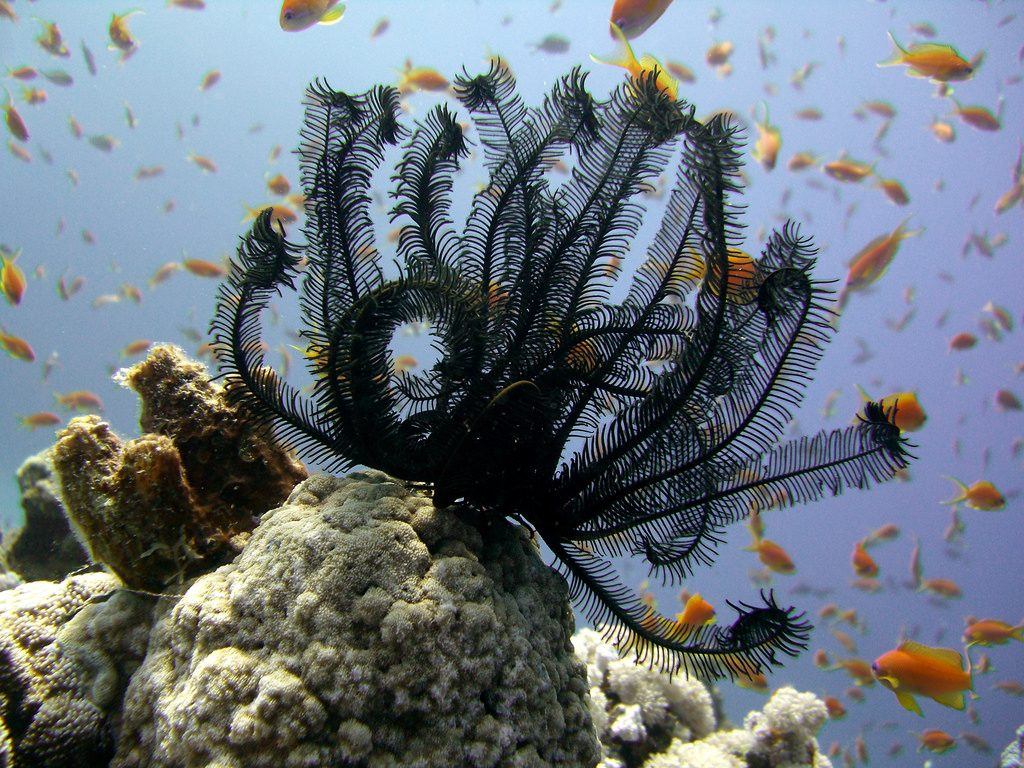 Feather star by Tim Sheerman-Chase