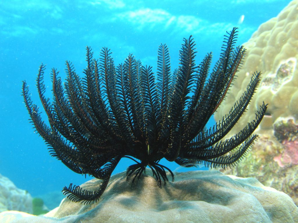 Feather_Star (Wikimedia Commons)