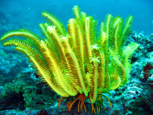 Feather_Star yellow (Wikimedia Commons)