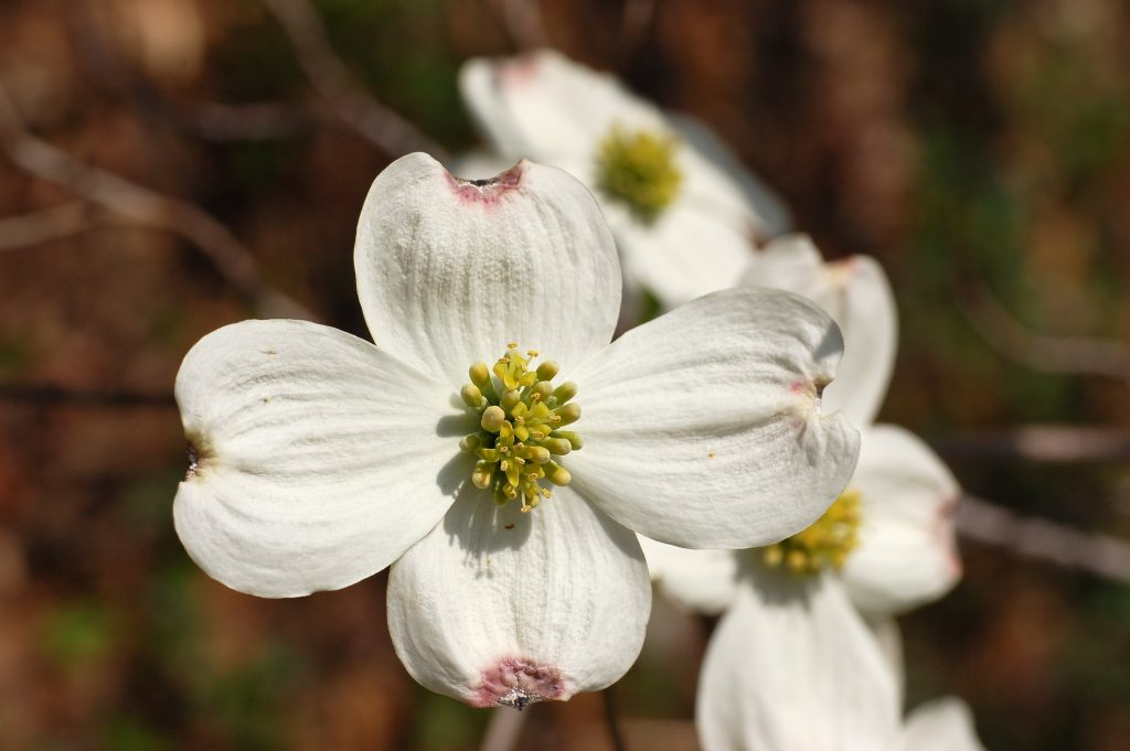 Flowering_Dogwood (Wikimedia Commons)