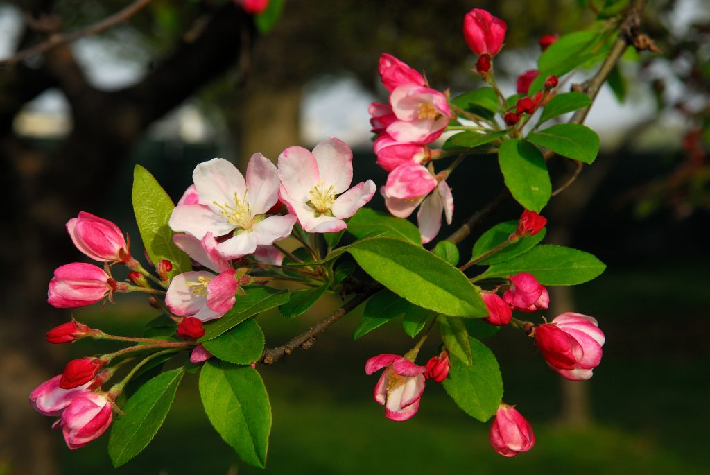 Flowering_crabapple_(Wikimedia Commons)