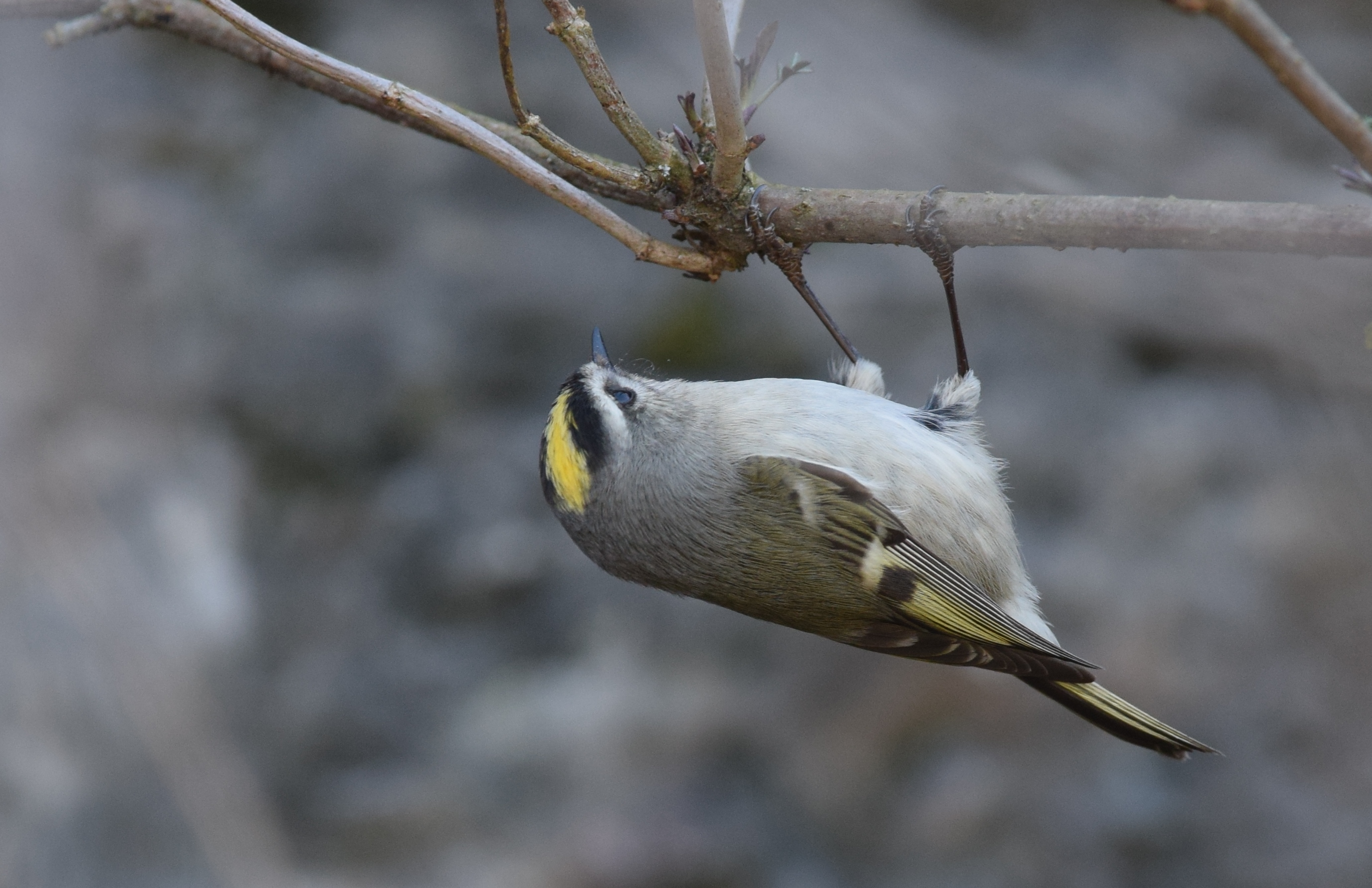 Golden Crowned Kinglets Wikimedia Commons Earth Buddies