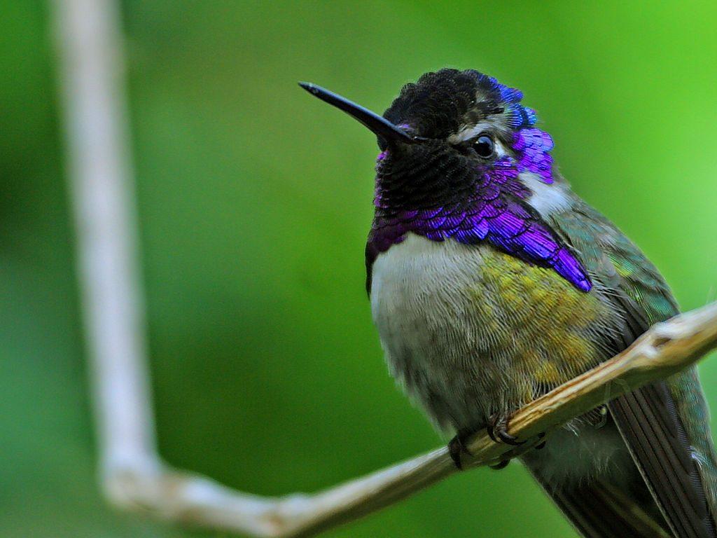 Hummingbirds (Wikimedia Commons)