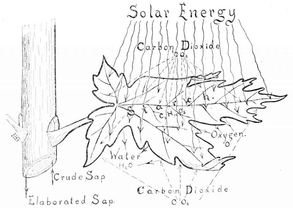 Photosynthesis Process (Wikimedia Commons)