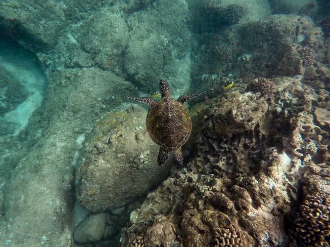 Seaturtle above coral