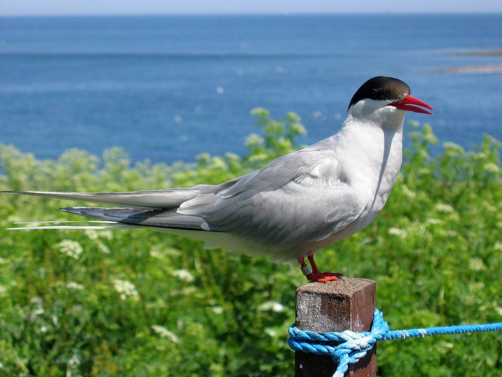 arctic tern (Wikimedia Commons)