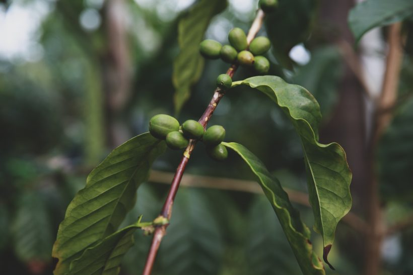 60% of Wild Coffee Species are Now Endangered, According to Scientist
