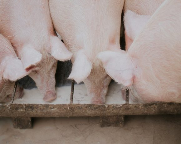 See How These Pigs Went From Heaven To Hell Because Of Coronavirus