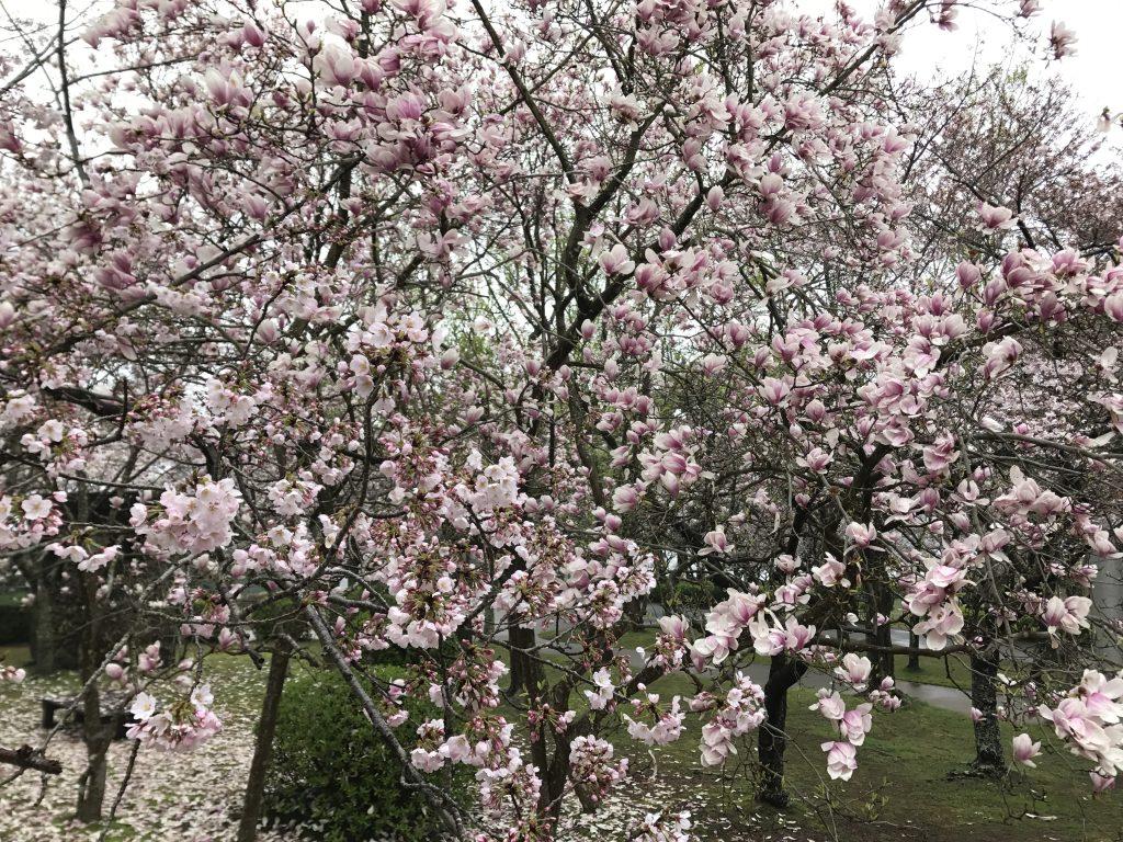 saucer_magnolia (Wikimedia Commons)