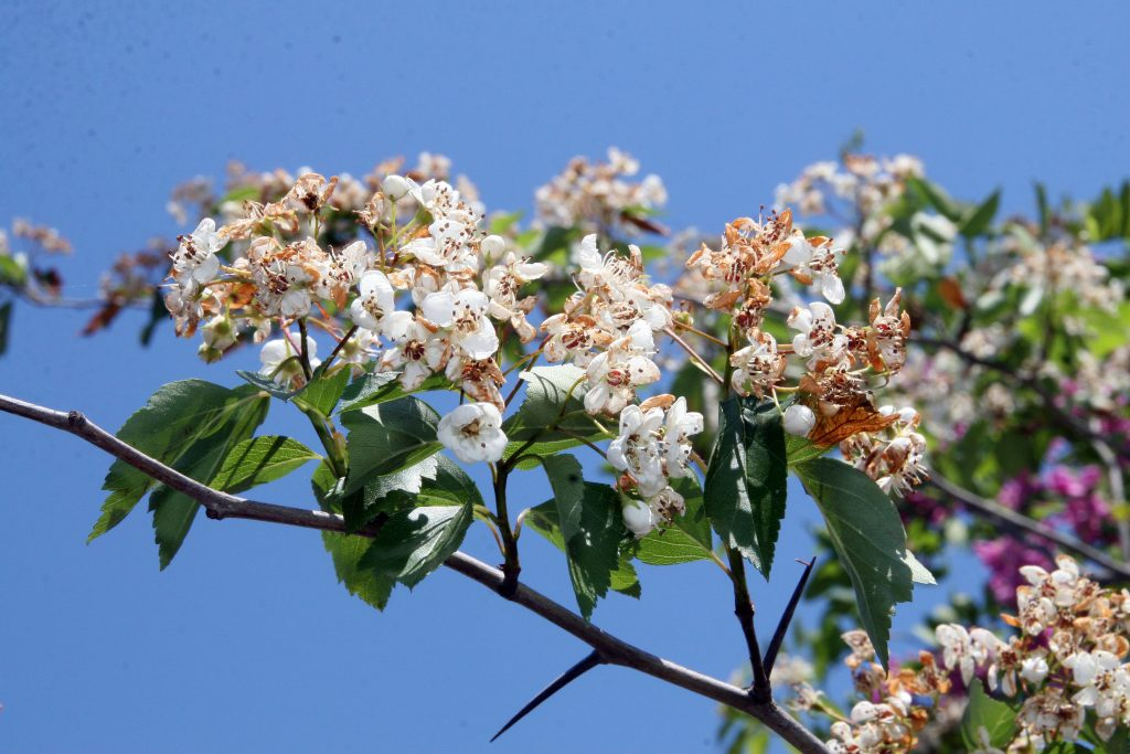 southern hawthorn (Wikimedia Commons)