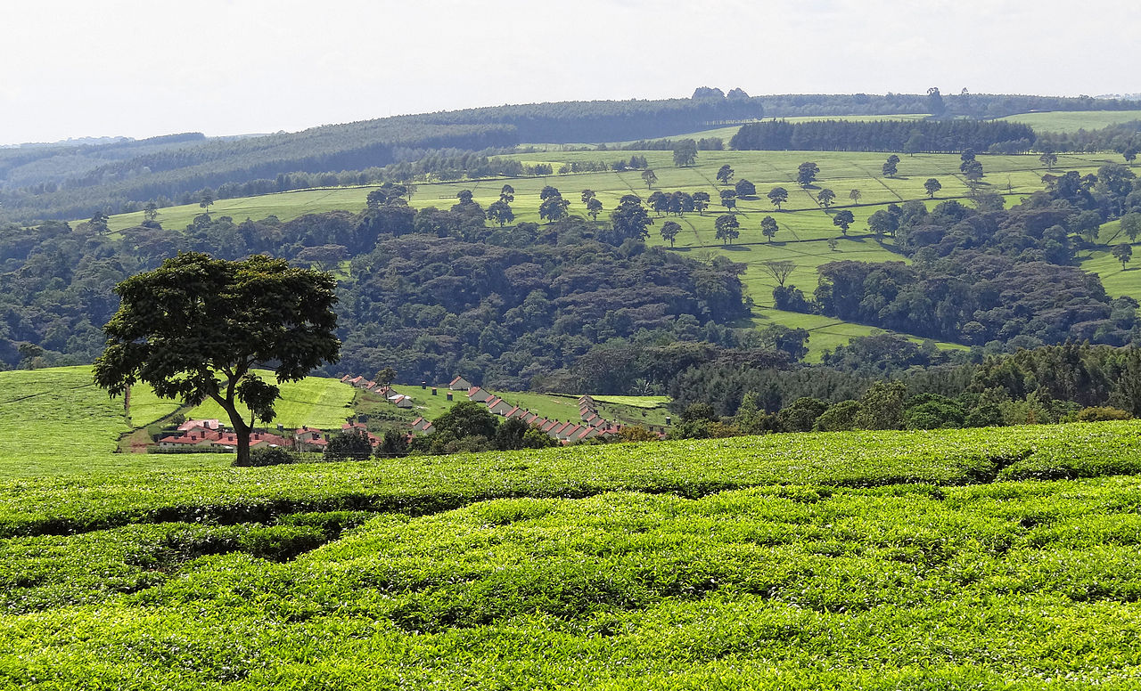 a tea farm around Kericho by Bjørn Christian Tørrissen Wikimedia Commons