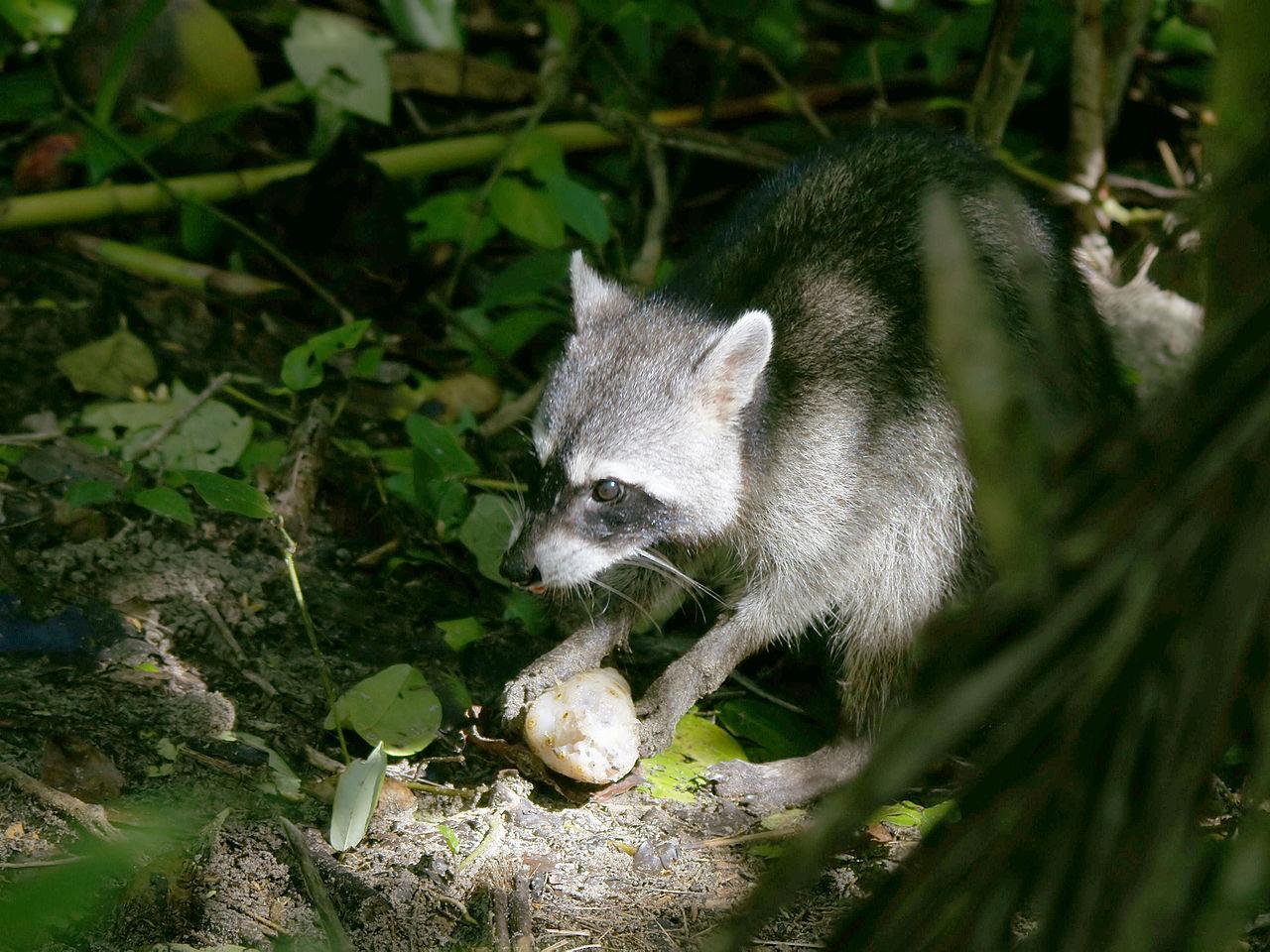 raccoon eating © Hans Hillewaert Wikimedia Commons