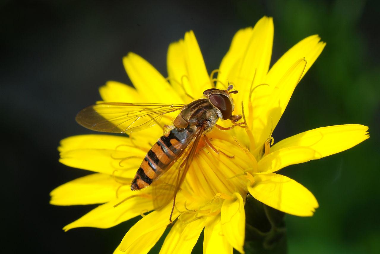 hoverfly by Alvesgaspar Wikimedia Commons