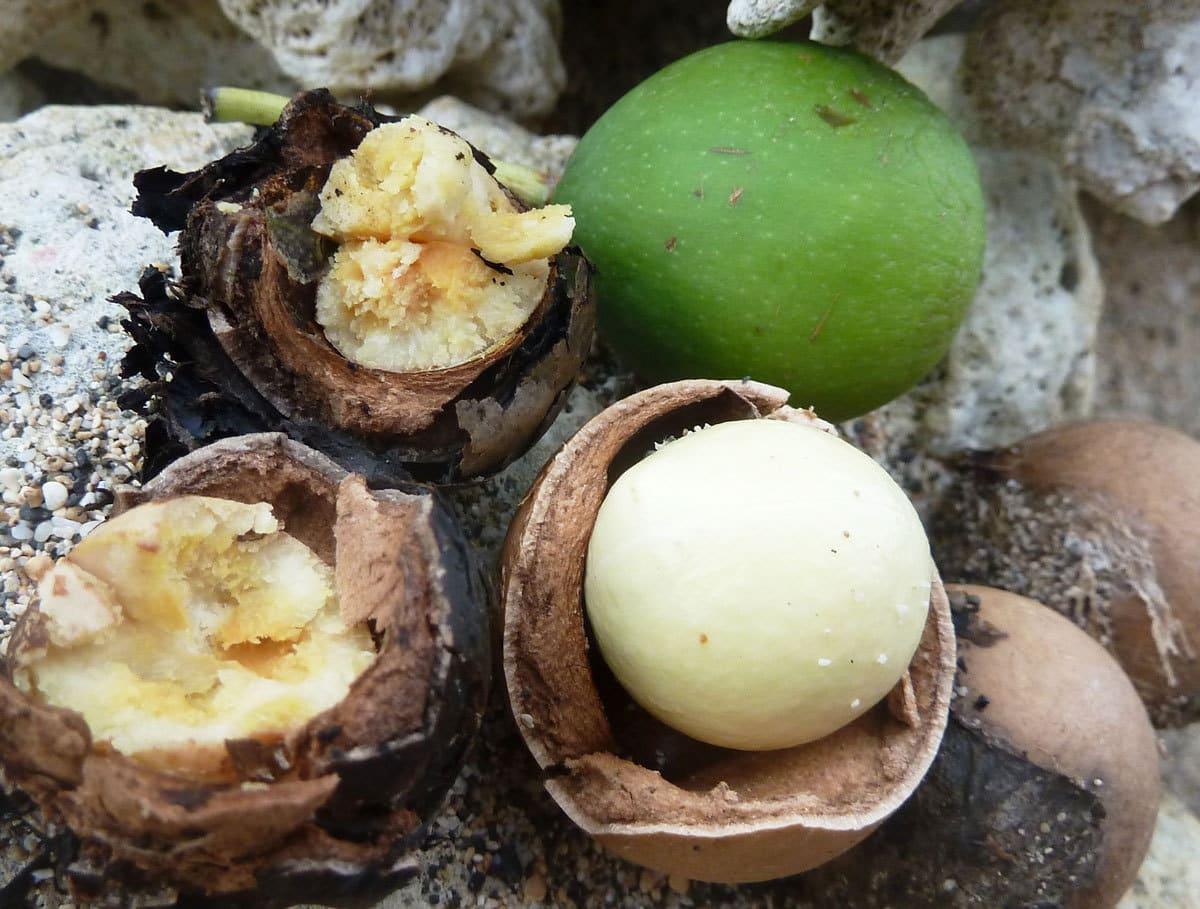 Tamanu-Nuts
