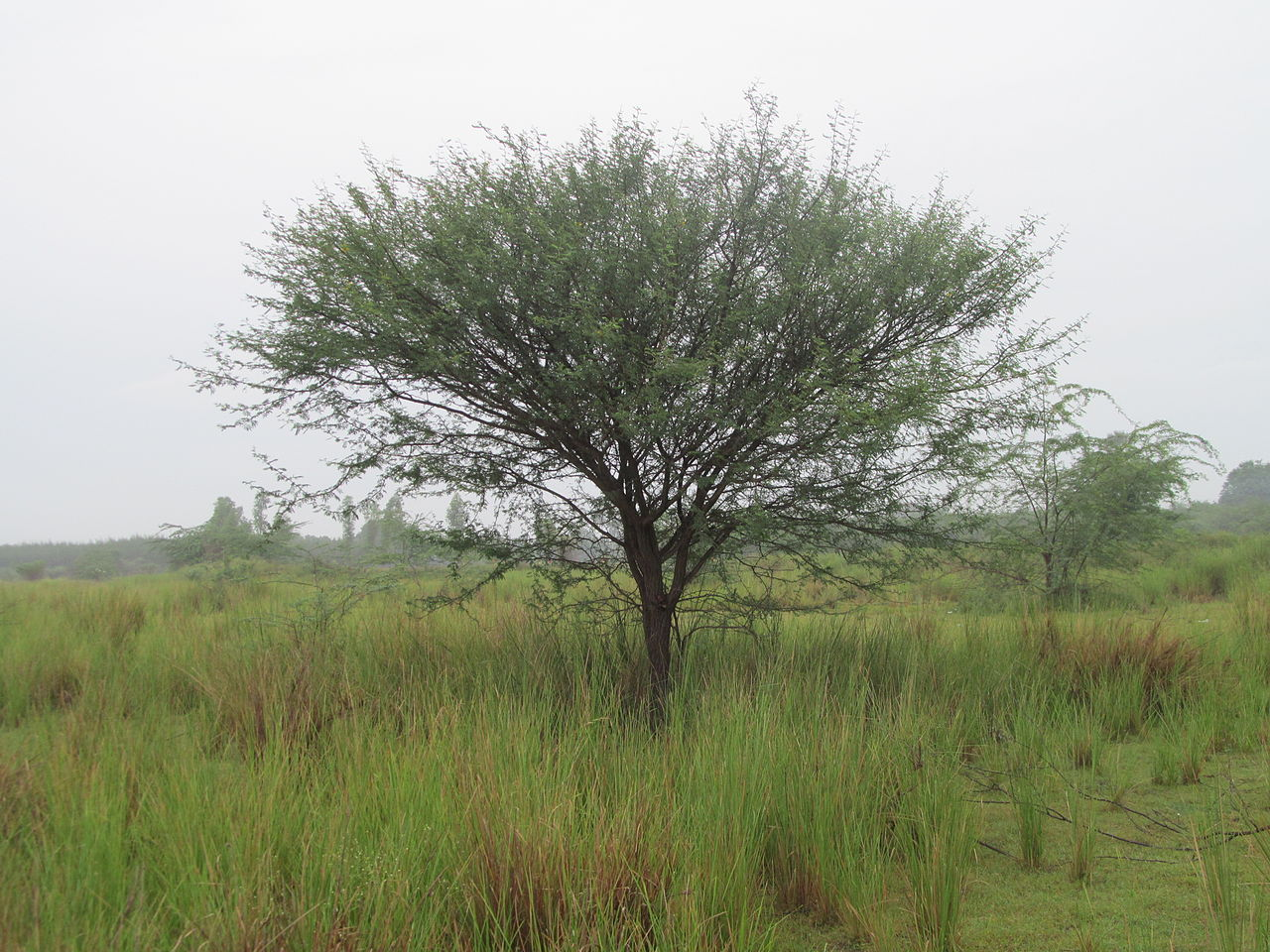 mesquite tree by Prabhupuducherry Wikimedia Commons