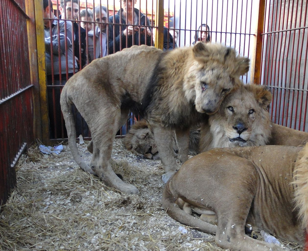 the conditions of the lions are similar to these lions in a cage. work by فلورانس Wikimedia Comons