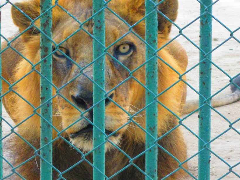 Lions and Other Wild Cats Found in Horrible Conditions in a Breeding Farm