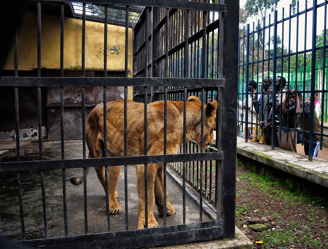 a lioness in a cage by Rod Waddington Wikimedia Commons