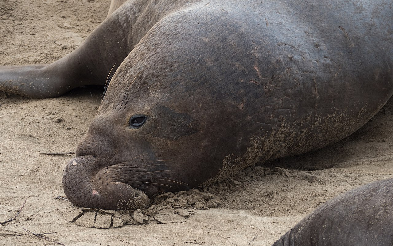 "elephant seals benefit from orca's ""invasion"". work by Rhododendrites Wikimedia Commons"