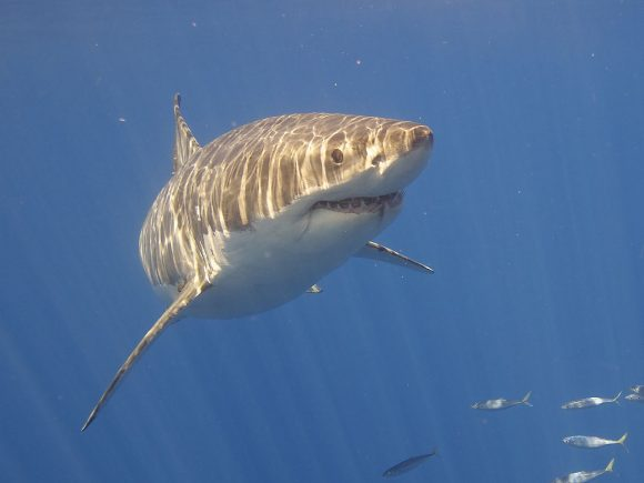 The fearsome (yet somehow cute) great white shark. photo by Elias Levy Wikimedia Commons