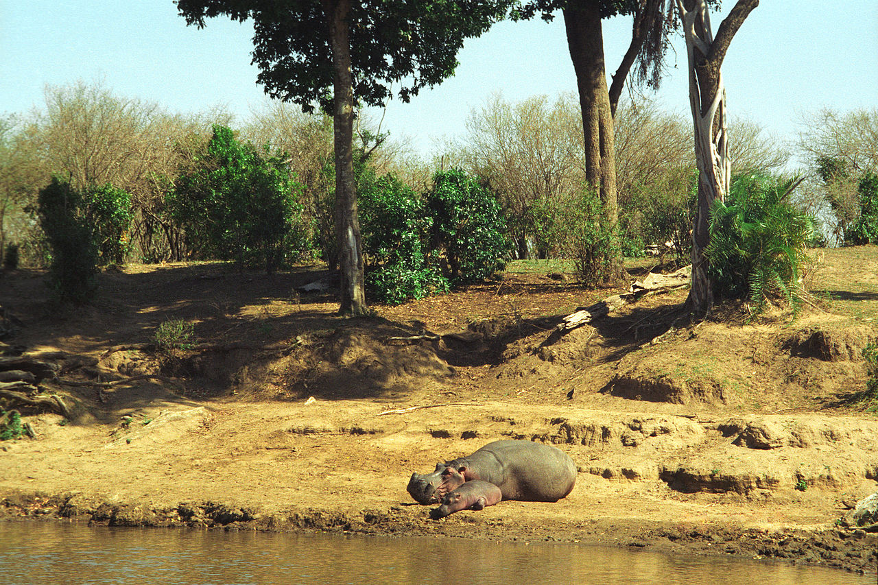 a mother hippo and her calf by Jerzy Strzelecki Wikimedia Commons