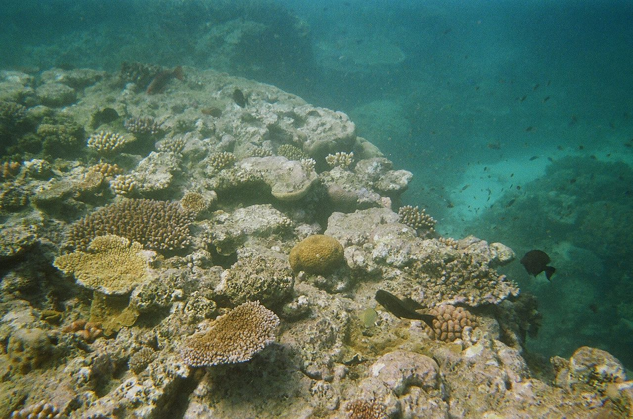 coral bleaching at The Great Barrier Reef by Jorge Láscar Wikimedia Commons