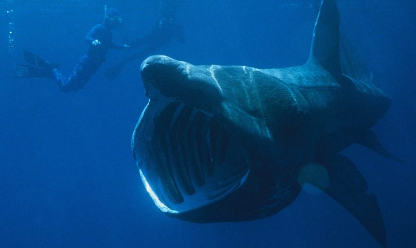 The Majestic Basking Sharks, And Their Daily Lives